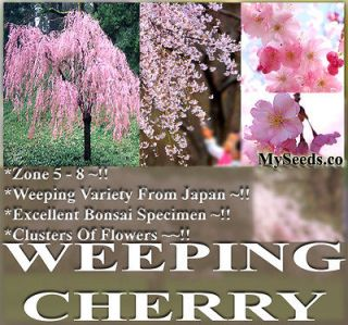 weeping cherry tree in Trees