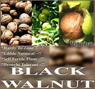 Northern California Walnut Hinds Black Walnut Juglans hindsii TREE