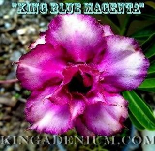 blue rose seeds in Perennials