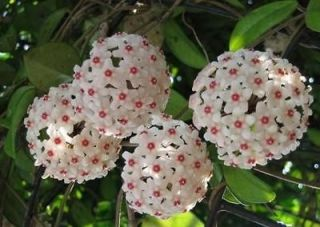 hoya plants in Flowers, Trees & Plants