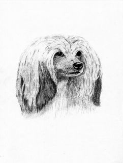 CHINESE CRESTED POWDER PUFF HEAD STUDY DOG SKETCH PRINT 8 X 10 PRINT
