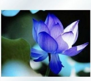 Chinese Lotus Seeds Nelumbo Nucifera Blue Water Lily Pond Plant Sacred