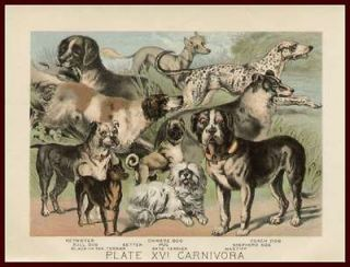 Dog Breeds, Masiff, Pug, Bulldog, Chinese Crested, Antique Chromo 1897