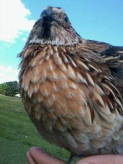 50 Jumbo Coturnix Quail Hatching Eggs