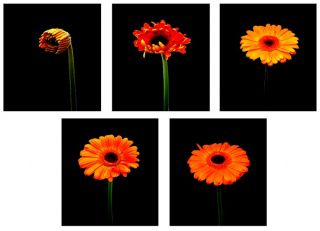 The Five Stages of the Gerbera Life Cycle