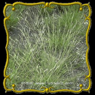 oz Poverty Oat Grass Bulk Wild Grass Seeds