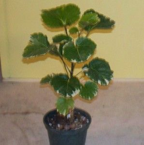 You will receive a well rooted plant growing in a 4 pot.