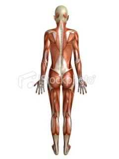 stock photo 17382739 female muscle system