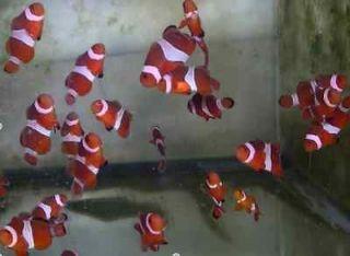 Newly listed False Percula Clownfish (Tank Raised) Live Saltwater Fish