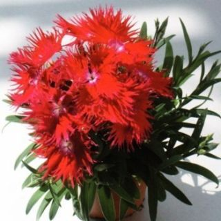 80 Dianthus Supra Red Live Flower Garden Plants