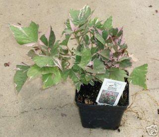 Sweet Potato Vine Tri Color 4 1 2 Pot Live Plant