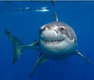 Great White Shark Full Image 50 x 60 Fleece Blanket Bedding Throw