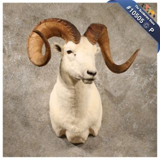 10505 P Dahl Sheep RAM Shoulder Taxidermy Mount Dall Bighorn