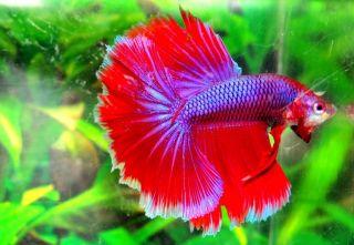 Blue Red Male Halfmoon Betta Live Fish HM8BLRD