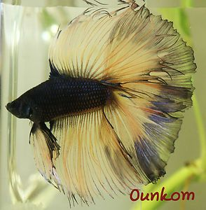 Black Butterfly Double Tail Halfmoon Male Live Betta Fish Imported