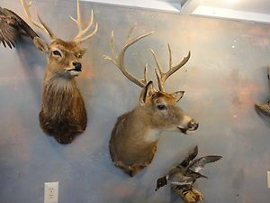 Wisconsin Big Buck Whitetail Deer Taxidermy Shoulder Mount