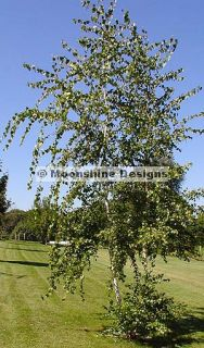 Weeping Paper White Birch Tree Seeds
