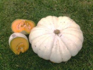 Flat White BOER Pumpkin Seeds African Creamy White Pumpkin Multiple
