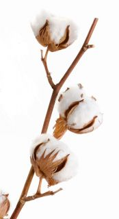 Cotton Boll 3 Bolls White Raw Cotton Plant Bolls for Crafts Education