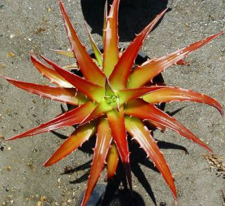 NEIDERLEINII   STUNNING RED & APPLE GREEN + 3 PUPS!   LARGE BROMELIAD