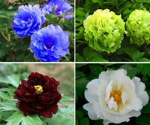 80 Seeds Chinese Blue Green White Black Peony Flower Seed Beautiful