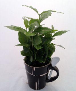 Coffee.Coffee Plant   Ceramic Coffee Mug & Spoon/Live Coffee Tree