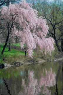 Cherry Blossom Lake Spring Counted Cross Stitch Pattern