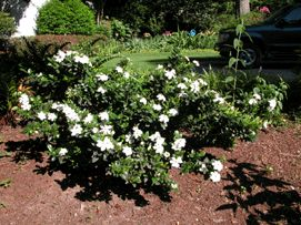 DAISY GARDENIA   Evergreen & Fragrant White Blooms   LIVE PLANT (Pick