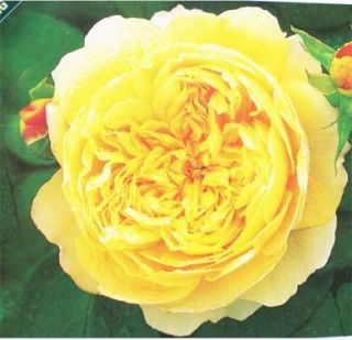 Charles Darwin Rich Yellow Rose 2 Gal. Live Plants Flowers Plant Best
