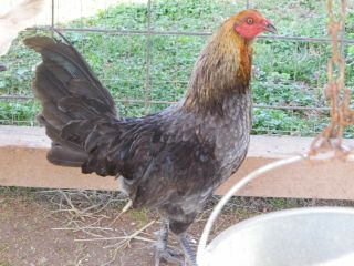 6 PURE HENNIE GAMEFOWL HACHING EGGS