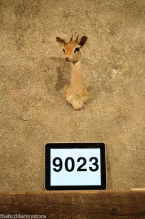 9023 African Cordeaux Dik Dik Shoulder Mount Taxidermy