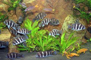 icus x3 Live Discus Betta Koi Fish Tank Plant