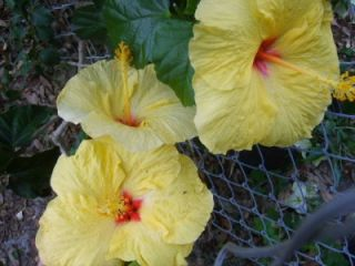 Tropical Hibiscus Live Plant Yellow Flower Pink Center