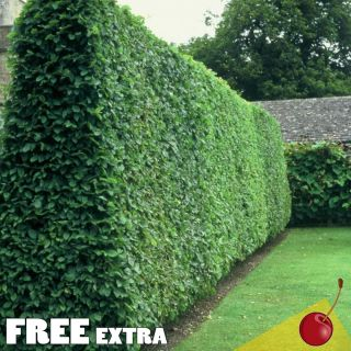 Privet Ligustrum Vulgare 20 Extra Seeds Fast Growing Hedge Plant