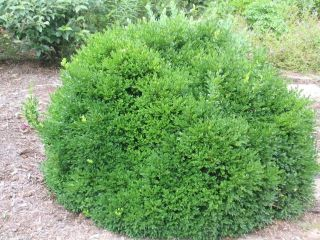 Boxwood Low Maintenance Evergreen Live Plants Pick Your Size