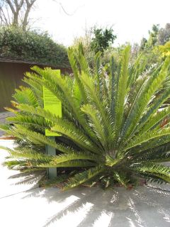 Cycad RARE Fast Growing Succulent Live Plant Low Water
