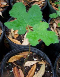 Turkey Fig Tree Ficus Carica 1 Gallon Size Plant Everbearing