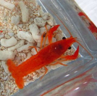 Live Bright Orange Red Lobster 2 for Freshwater Aquarium Fish