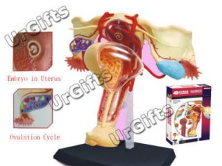 4D Puzzle Human Anatomy Model 1 1 Female Reproduction
