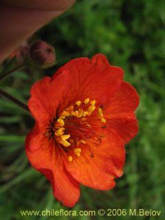 Geum Magellanicum 30 Fresh Seeds V Hardy
