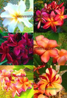 Plumeria Frangipani Flowers Plants Mixed 500 Seeds