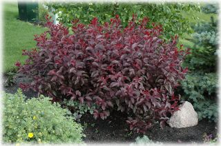 Sand Cherry Bush Tree Pink Flowers Garden Stand Out Zone 3 7
