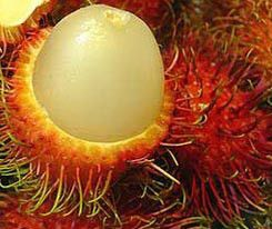 Oriental Fruits Rambutan Fresh Seed for you to grow your own fruit