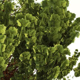 Giant Sequoia Sequoiadendron Giganteum 30 Extra Seeds