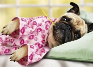 Pug Dog in Pajamas Get Well Soon Funny Card by Avanti Pugs and Kisses
