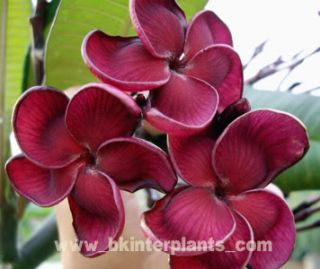 Plumeria with Rooted Black Ruby Very New RARE