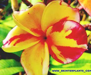 Plumeria with Rooted Splash Orange Queen Pretty Color
