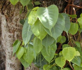 Sacred Fig Ficus Religiosa Bohdi Tree Fresh Seeds