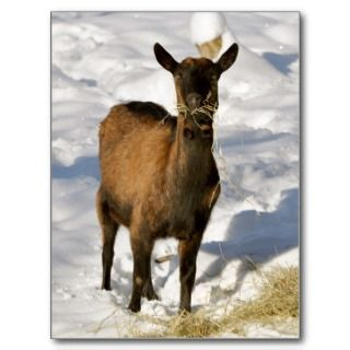 French alpine goat in the snow postcard