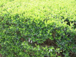 100 Privet Hedge 6 to 8 inch tall plants Low Cost Privacy Fence